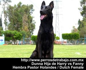 Perros de proteccion personal y deportivo - Duna dutch shepherd Hembra perros de proteccion personal perros de proteccion personal Duna dutch shepherd female