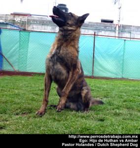 pastor holandes - perro de proteccion personal -  perros de proteccion personal perros de proteccion personal Ego Pastor Holandes