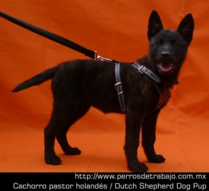 Temperamento perro de trabajo temperamento perro de trabajo Temperamento Perro de Trabajo Erven cachorro01