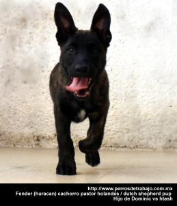 que raza de perro es mas facil de entrenar | Cachorro Pastor Holandes que raza de perro es mas facil de entrenar Que raza de perro es mas facil de entrenar fender huracan cachorro
