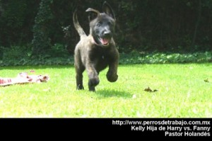 Cachorro pastor holandes - Harry vs Fanny pastor holandes temperamento del pastor holandes hkelly01