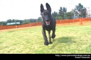 Articulos de perros de trabajo articulos de perros Articulos de perros de trabajo pastorholandesmacho016
