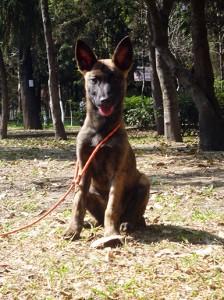 adiestramiento canino, pastor holandes adiestramiento canino Adiestramiento Canino: Lecciones y Fundamentos Hembra Pastor Holandes