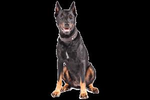 Razas de Trabajo - Beauceron - Perro de Protección razas de trabajo Mejores Razas de Trabajo Beauceron cutout   Copy