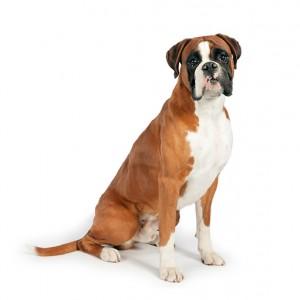 Razas de Trabajo - Boxer - Perro de Protección razas de trabajo Mejores Razas de Trabajo boxer