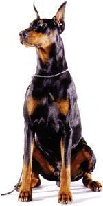 Doberman - Razas de Trabajo - Perro de Protección razas de trabajo Mejores Razas de Trabajo doberman