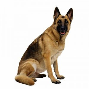 Pastor Aleman - Razas de Trabajo - Perro de Proteccion razas de trabajo Mejores Razas de Trabajo pastor aleman