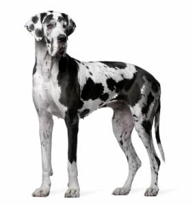 Razas de Trabajo - Gran Danes - Perro Protección razas de trabajo Mejores Razas de Trabajo perro gran danes adulto