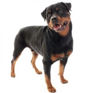 Rottweiler - Razas de Trabajo - Perro de Proteccion razas de trabajo Mejores Razas de Trabajo rottweiler