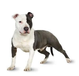 Razas de Trabajo - Staffordshire Terrier - Perro de Proteccion razas de trabajo Mejores Razas de Trabajo staffordshire bull terrier