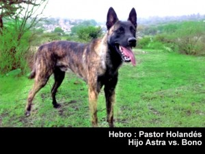 Pastor Holandes - perros de proteccion personal - Hebro - Pastor Holandes perros de proteccion personal perros de proteccion personal Pastor holaandes hebro 2