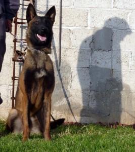 pastor-belga-perro-policia-ballack perros de proteccion personal perros de proteccion personal pastor belga perro policia ballack